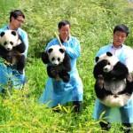 Panda urias 0