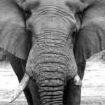 Elefantul instigator